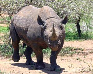 Spitzmaul-Nashörner erstmals wieder in Namibias Süden angesiedelt