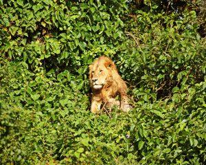 Äthiopien: Erstmals Löwen in afrikanischer Regenwaldregion dokumentiert