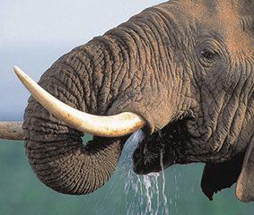 Kenia: Härtere Strafen für Elfenbeinschmuggel