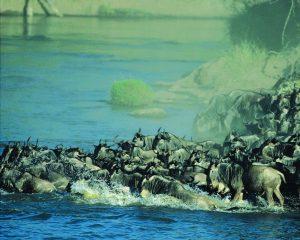 Kenia / Tansania: Die große Tierwanderung hat ungewöhnlich früh begonnen