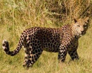 Botswana: Leoparden- und Löwenschutzprojekte in der Kalahari