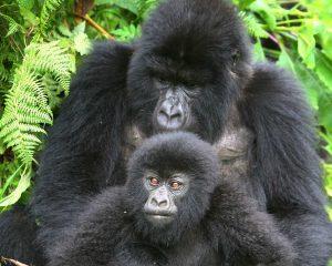 Uganda: Gorilla-Permits rechtzeitig reservieren