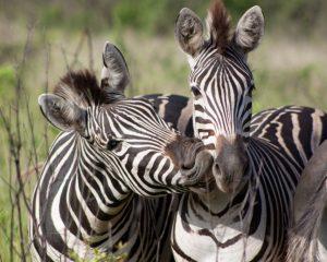 Südafrika: Hluhluwe Umfolozi Game Reserve als Alternative zum Kruger National Park