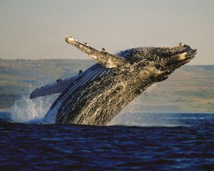 Südafrika: Wale beobachten in Hermanus und De Kelders von Juli bis Dezember