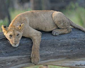 Ruanda: Wieder-Ansiedlung von Löwen in Akagera National Park geplant
