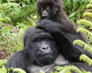 Ruanda, Reisetipps für Gorilla Trekking, Iwanowski's Reisen, www.afrika.de
