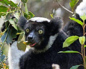Madagaskar Indri Lemure. iwanowski.blog
