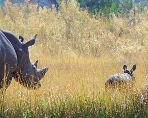 "Botswana: Nashorn-Baby zum ""Welt Rhino Tag"" am 22. September"