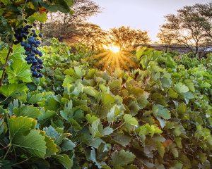 Namibias Weinanbau-Wunder: Neuras am Rande der Naukluft