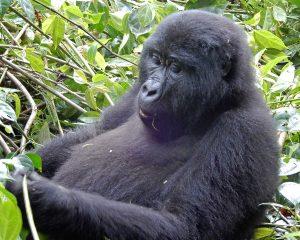 Die Perle Afrikas – Zu Besuch bei den Berggorillas in Uganda