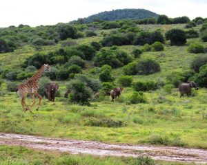 Ein typischer Aufenthalt in einer Safarilodge: im Kariega Game Reserve in Südafrika