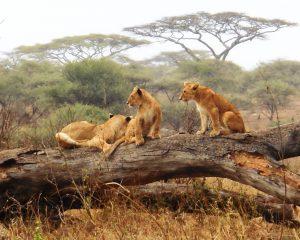 Auf Pirsch in Tansanias Norden – Ngorongoro-Krater, Serengeti & Co.