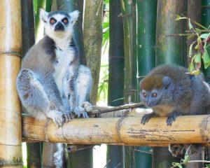 100 Arten, 1 Phänomen: die Lemuren auf Madagaskar