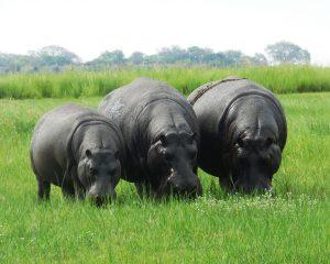 Happy Hippos und raufende Elefanten – Der Chobe National Park