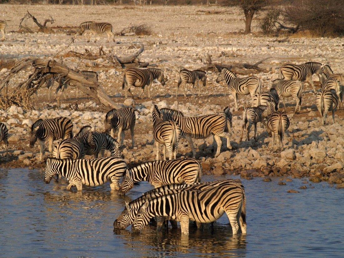 Namibia Etosha Nationalpark Zebras Iwanowskis Reisen - afrika.de
