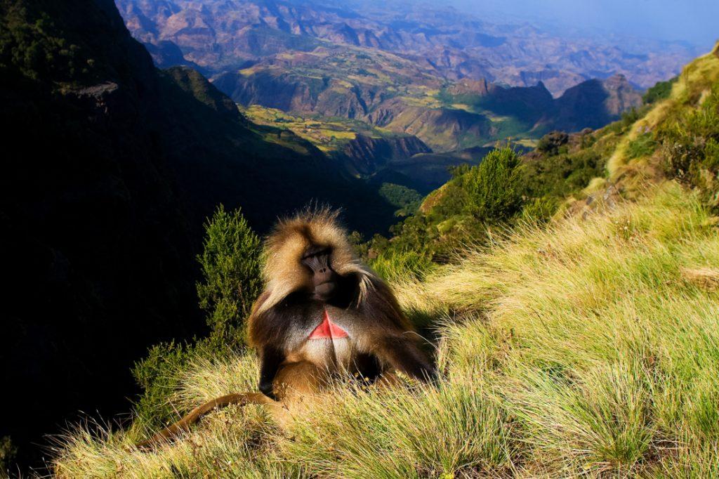 Äthiopien Simien Mountains Blutbrustpavian Iwanowskis Reisen - afrika.de