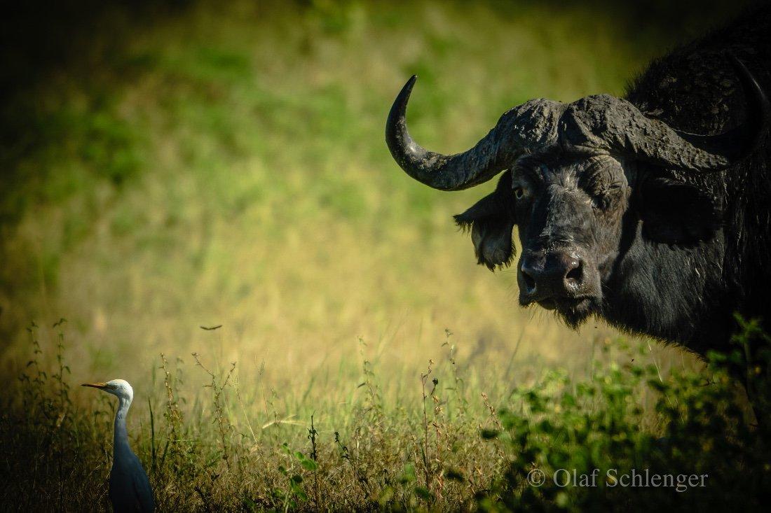 Botswana Büffel Iwanowskis Reisen - afrika.de