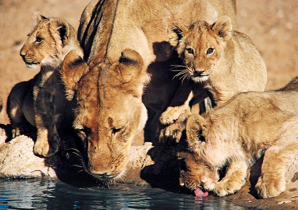 Botswana Bushways Camping trinkende Löwen Iwanowskis Reisen - afrika.de