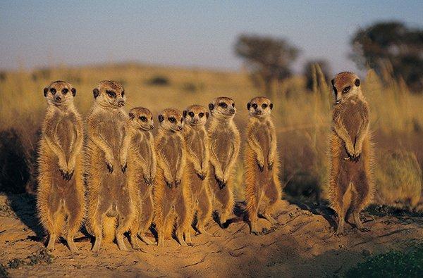 Botswana Erdmännchen Iwanowskis Reisen - afrika.de