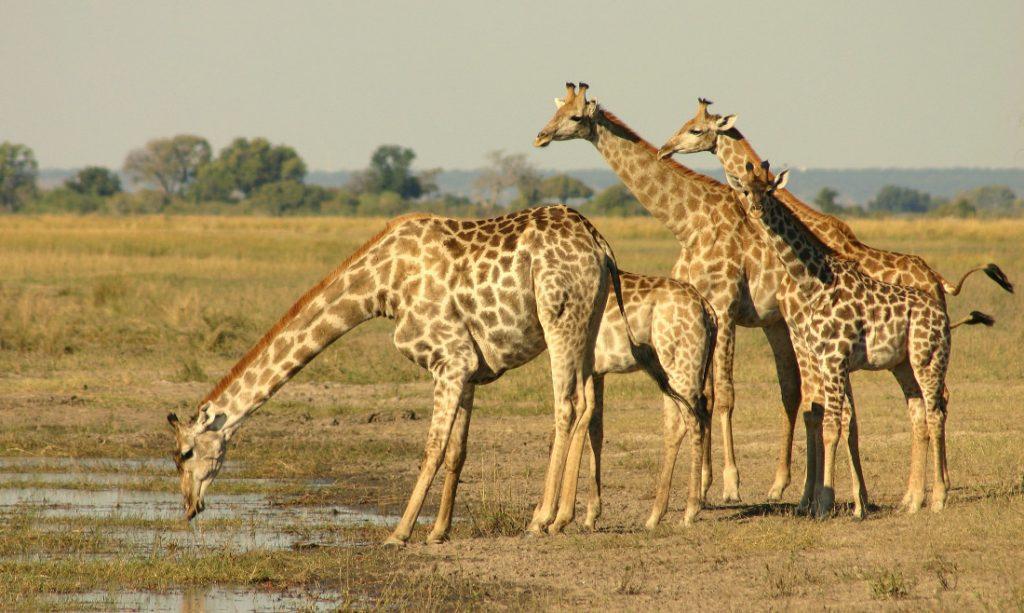 botswana-giraffen
