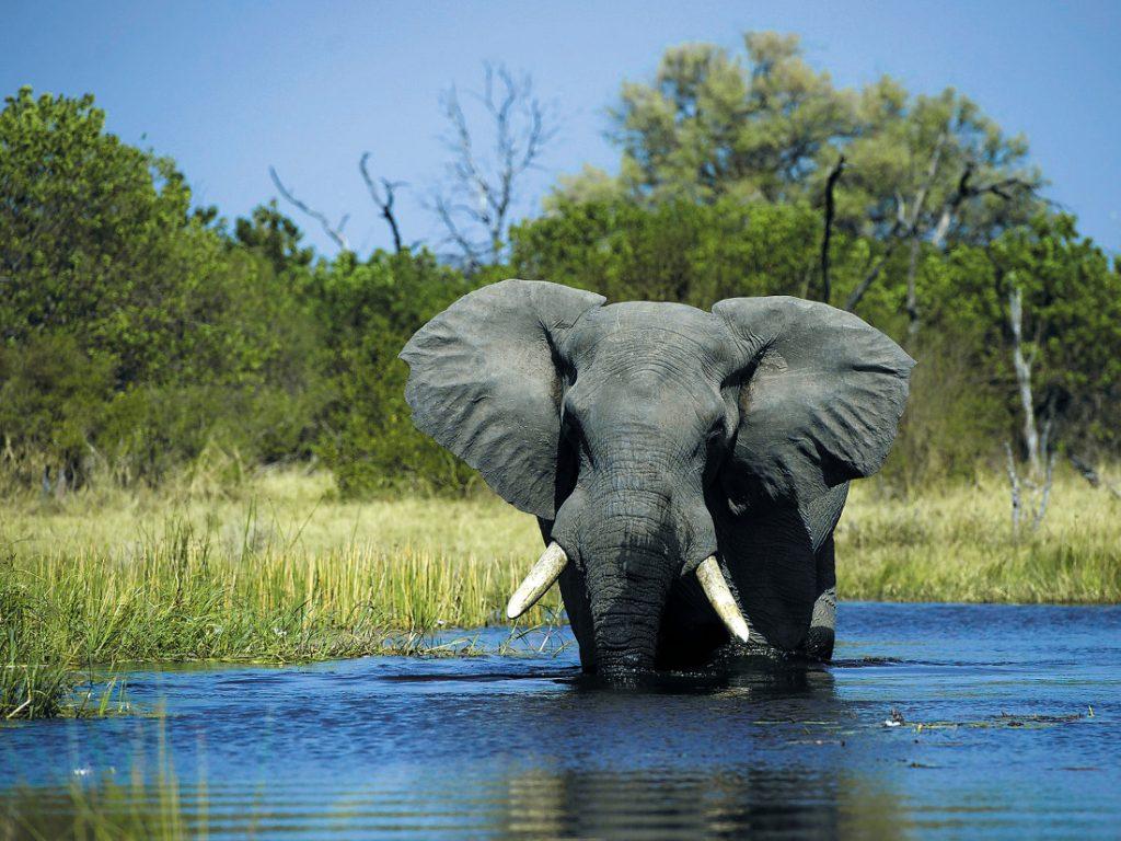 Botswana Elefant im Fluss Iwanowskis Reisen - afrika.de