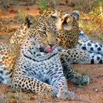 Botswana Leoparden Bushways Safari Iwanowskis Reisen - afrika.de
