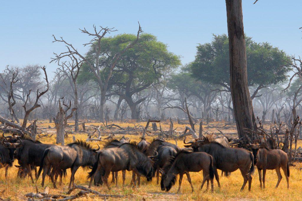 Botswana Khwai Konzession Sango Safari Camp Gnuherde Iwanowskis Reisen - afrika.de