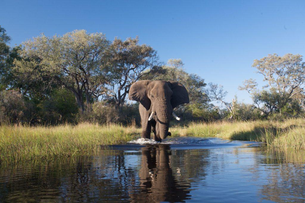 Botswana Okavango Delta nahe Stanley's Camp Elefant Iwanowskis Reisen - afrika.de