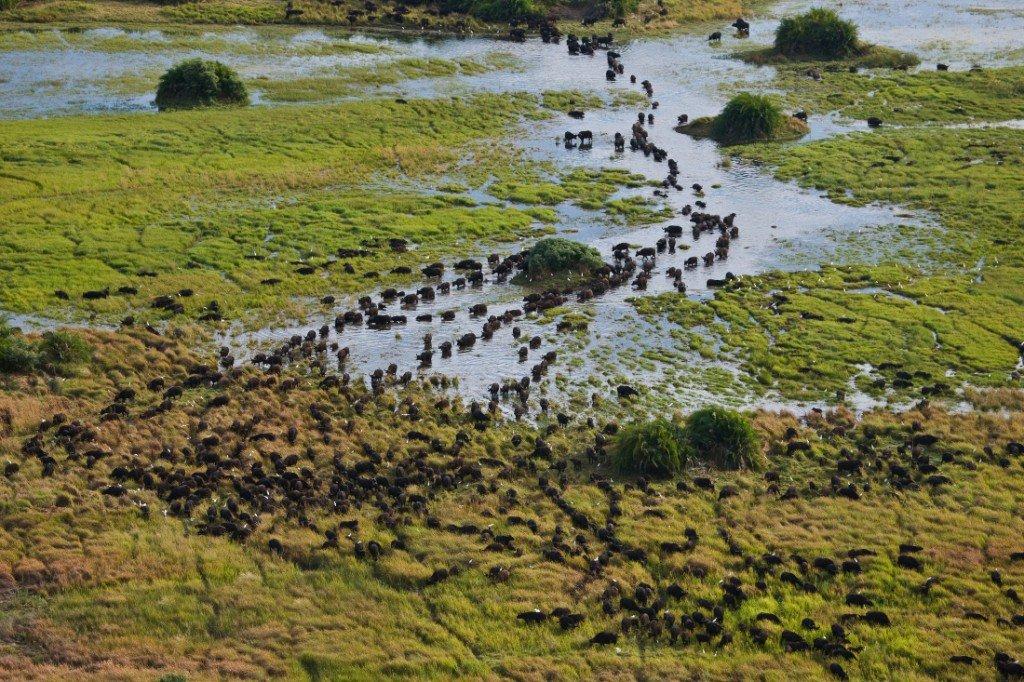 Botswana Okavango Delta Duba Expeditions Camp Büffelherde Iwanowskis Reisen - afrika.de