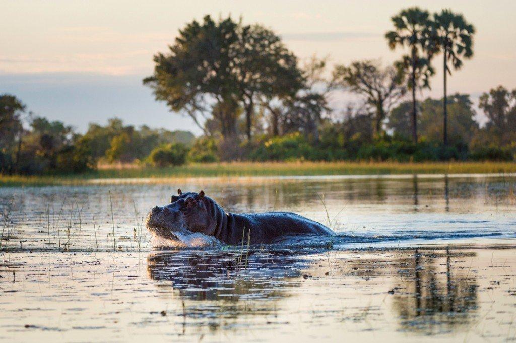 Botswana Pelo Camp Nilpferd Iwanowski's Reisen - afrika.de