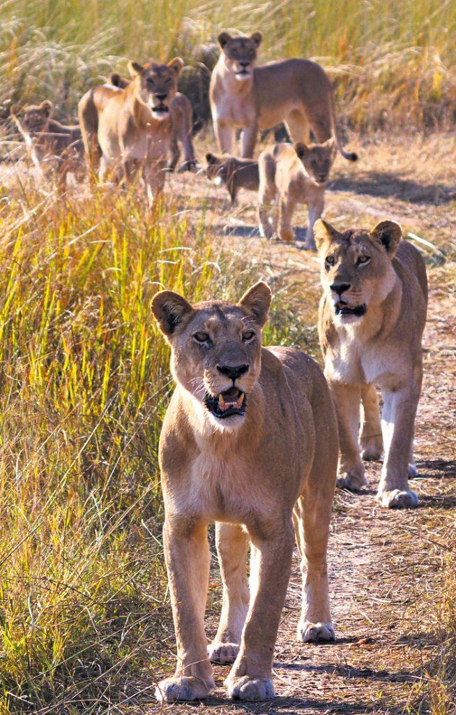 Botswana Moremi Game Reserve Löwenrudel Iwanowskis Reisen - afrika.de