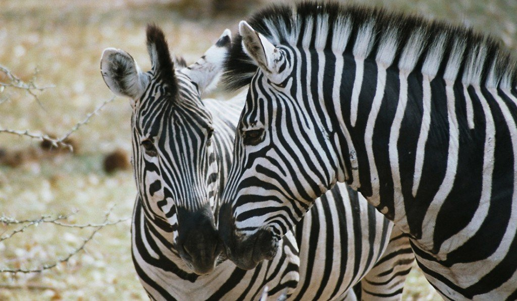Botswana Moremi Wildreservat Zebras Iwanowskis Reisen - afrika.de