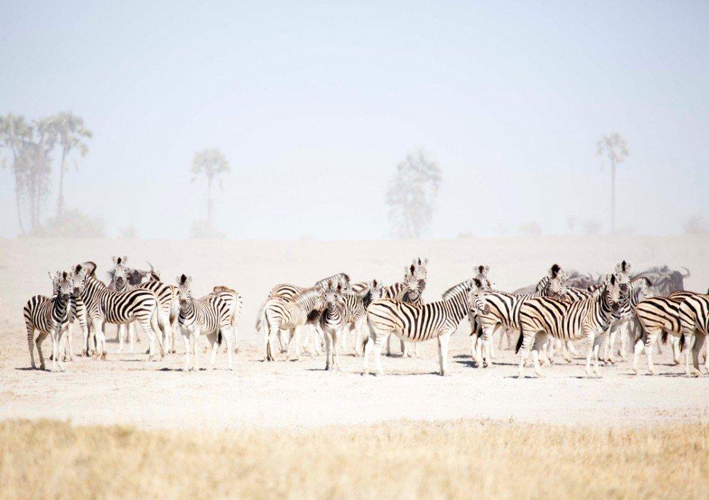 Botswana Makgadikgadi Salzpfannen San Camp Zebraherde Iwanowskis Reisen - afrika.de