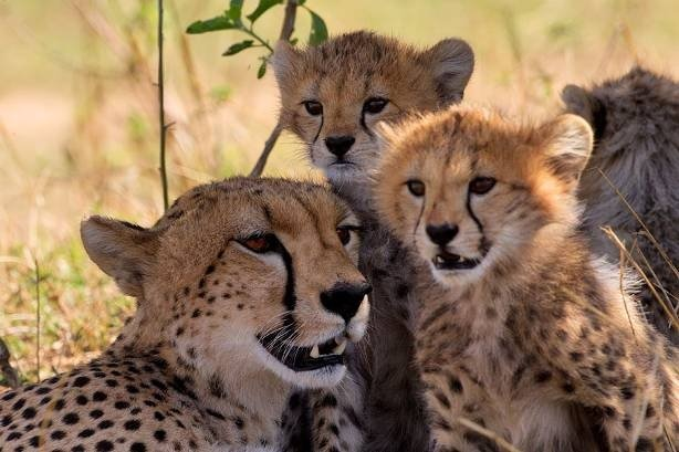 Tansania Geparden mit Jungen Iwanowskis Reisen - afrika.de