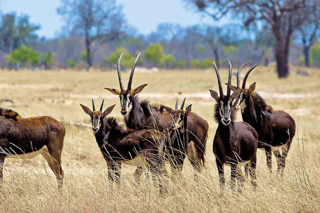 Simbabwe Hwange National Park Säbelantilopen Iwanowskis Reisen - afrika.de