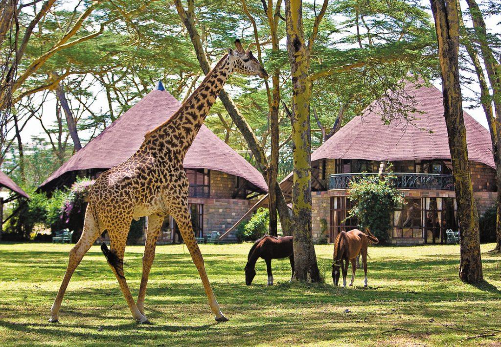 Kenia Lake Naivasha Sopa Lodge Garten Giraffe Iwanowskis Reisen - afrika.de