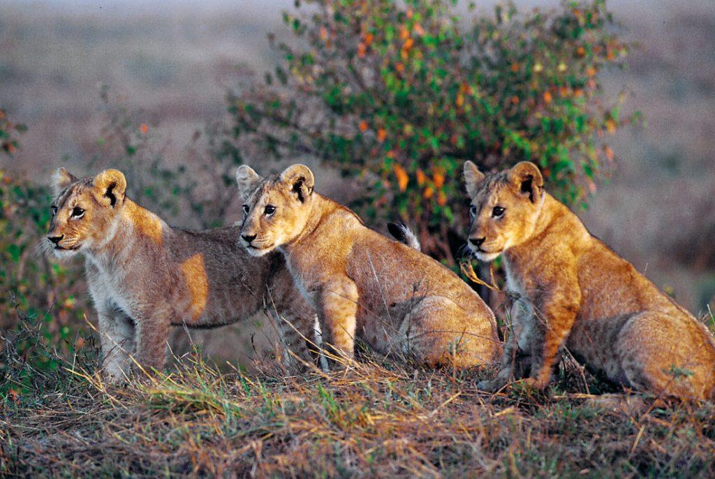 Kenia Nakuru National Park Löwenbabys Iwanowskis Reisen - afrika.de