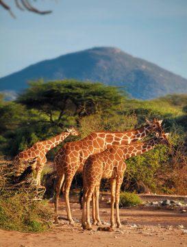 Kenia Samburu National Park Giraffen Iwanowskis Reisen - afrika.de
