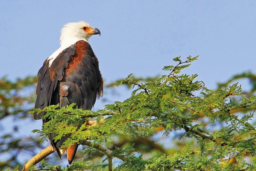 Kenia Lake Nakuru National Park Schreiseeadler Iwanowskis Reisen - afrika.de