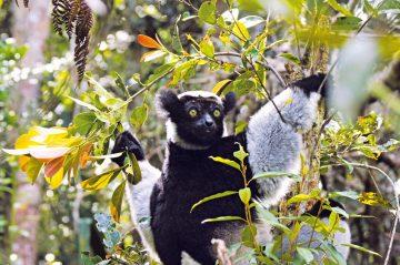 Madagaskar Indri Iwanowski's Reisen - afrika.de