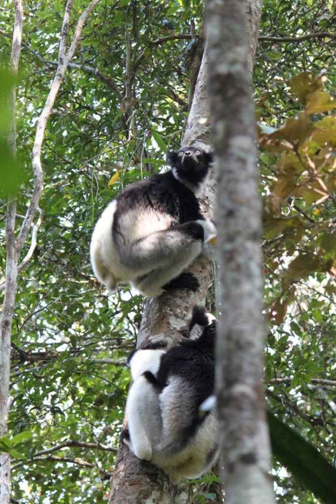 Madagaskar Rundreise Antananarivo Indri Iwanowskis Reisen - afrika.de