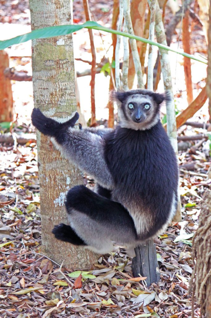Madagaskar Rundreise Indri Iwanowskis - afrika.de