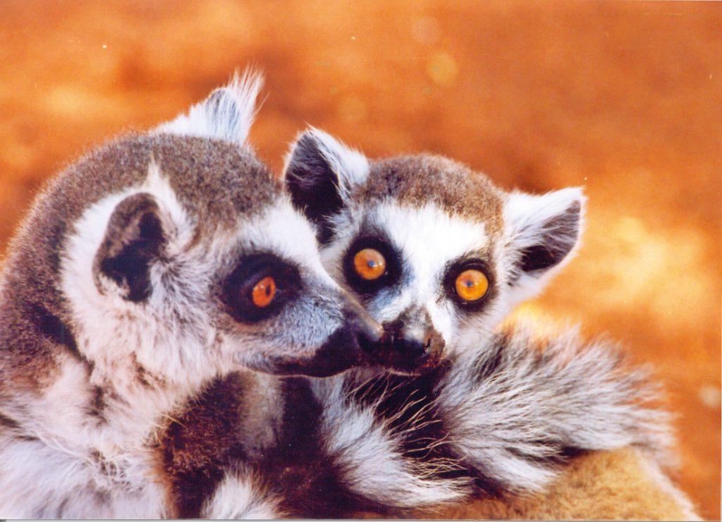 Madagaskar Rundreise mit Kindern Lemuren Iwanowskis Reisen - afrika.de