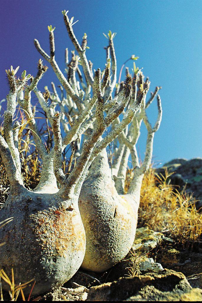 Madagaskar Safari Rundreise Pachypodium Pflanze Iwanowskis Reisen - afrika.de