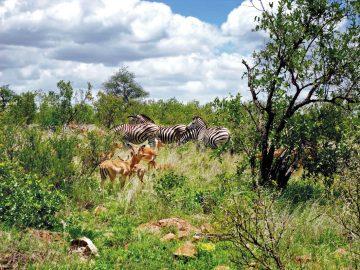 Mosambik Great Limpopo Transfrontier Park Wildtiere Iwanowskis Reisen - afrika.de