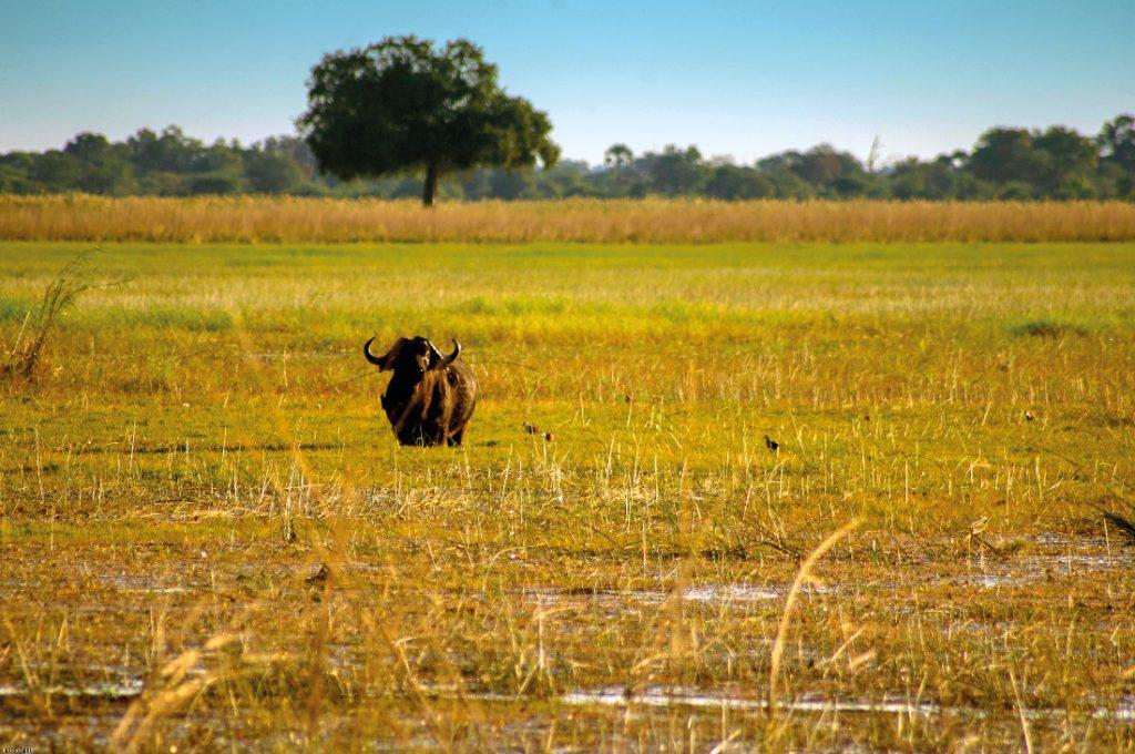 Namibia Caprivi Streifen Büffel Iwanowskis Reisen - afrika.de