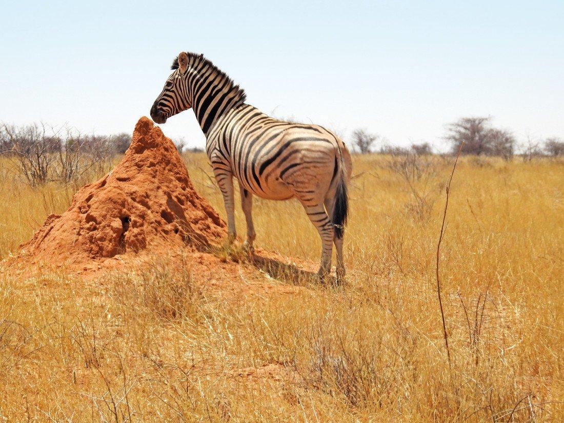 Namibia Etosha National Park Dolomite Camp Zebra Iwanowskis Reisen - afrika.de