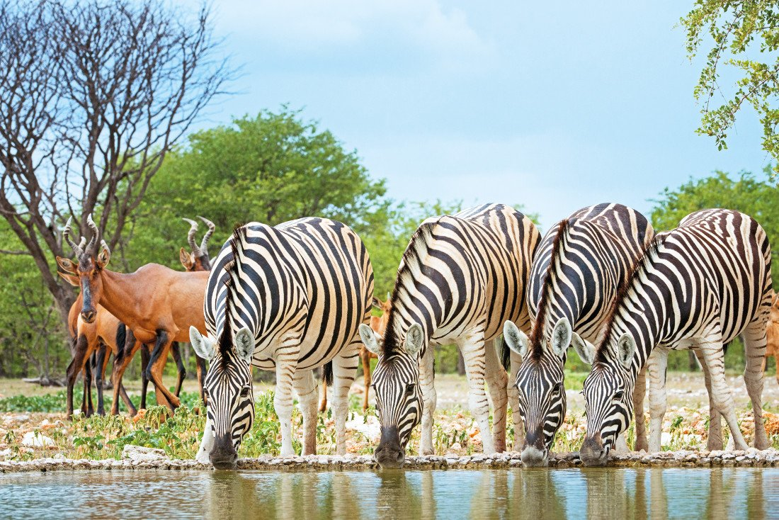 Namibia Etosha National Park Zebras Wasserloch Iwanowskis Reisen - afrika.de