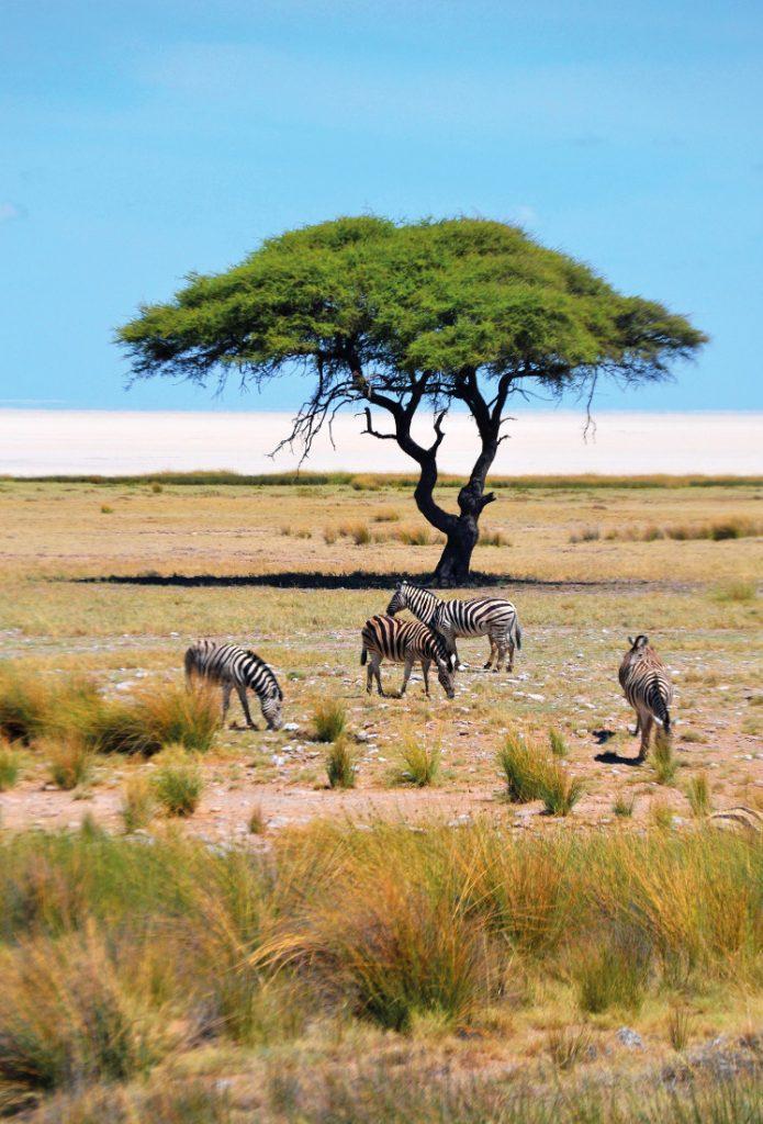 Namibia Etosha National Park Zebras Iwanowskis Reisen - afrika.de