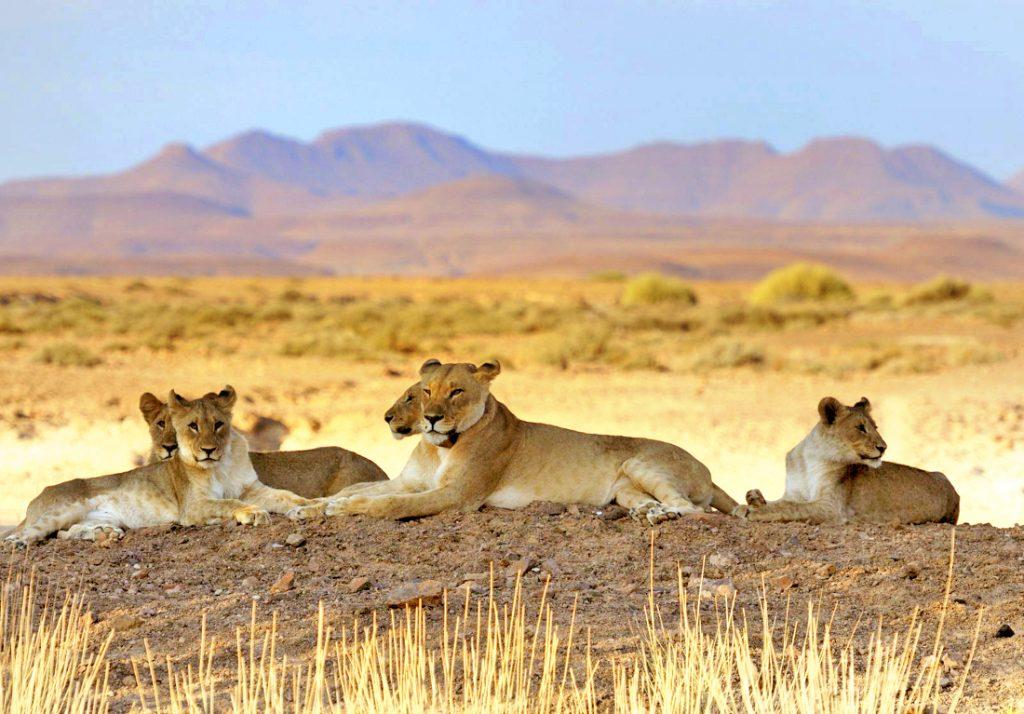 Namibia Kaokoveld Expedition Löwenfamilie Iwanowskis Reisen - afrika.de